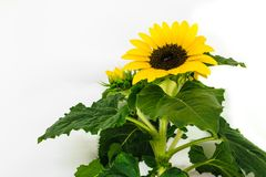 Sunflower branch with visible few blossoms and green leafs on white background surface royalty free stock photos