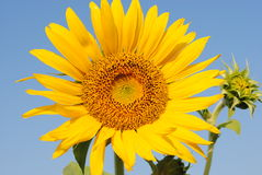 Sunflower branched Royalty Free Stock Images