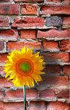 Sunflower on brick wall Royalty Free Stock Photo