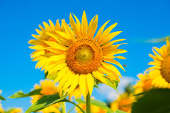 Sunflower in the bright blue sky Stock Image