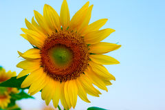 Sunflower with bright morning sky,Cheerful Royalty Free Stock Image