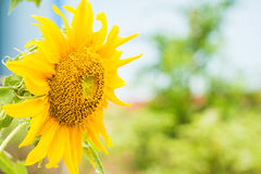 Sunflower on a bright morning. Stock Image