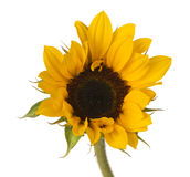 Sunflower Bright Single Royalty Free Stock Photos