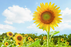 Sunflower with bright sky Stock Image