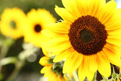 Sunflower with bright sky background. stock photography