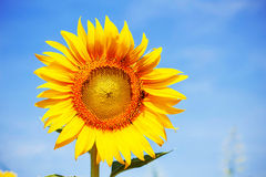 Sunflower with the bright sky. Royalty Free Stock Photography