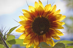 Sunflower in the Bright Sun Royalty Free Stock Images