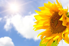 Sunflower, bright sun and blue cloudy sky. Amazing large sunflower, bright sun and blue cloudy sky background Royalty Free Stock Photo