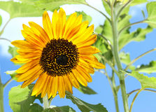 Sunflower. A sunflower on a bright sunny day royalty free stock image