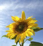 Sunflower. On bright sunny day Stock Image