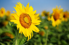 Sunflower. Bright yellow sunflower with a clear blue sky background stock photos