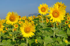 Sunflower. Bright yellow sunflower with a clear blue sky background royalty free stock photo