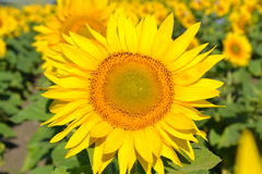Sunflower. Bright yellow flower conveys the joy and good mood Stock Photography