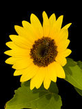 Sunflower. Is the bright yellow flower whose seeds can be extracted for  oil Royalty Free Stock Image