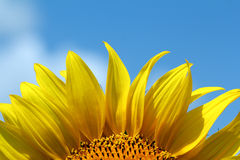 Sunflower bright yellow leaf Royalty Free Stock Photos