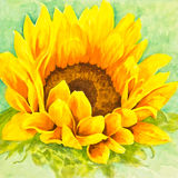 Sunflower. A bright yellow and orange sunflower boasts a center of luscious seeds  in a watercolor painting Royalty Free Stock Images