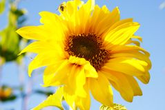 Sunflower. Bright yellow sunflower petals against to the blue sky Stock Images