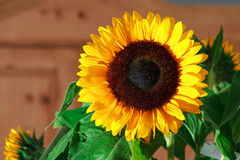 Sunflower brown Royalty Free Stock Photo