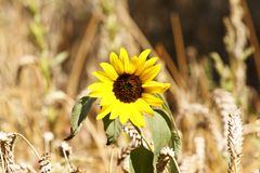 Sunflower in brown environment Stock Photo