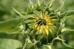 Sunflower bud Stock Images