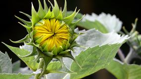 Sunflower bud. Closeup of sunflower bud about to bloom stock image