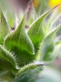 Sunflower bud. Spiky green sunflower bud Royalty Free Stock Photography
