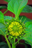 Sunflower bud Royalty Free Stock Photo