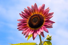 Sunflower with Bud Against Sky Royalty Free Stock Photography