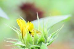 Sunflower bud  close up. Close up of fresh sunflower bud Royalty Free Stock Photos