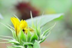 Sunflower bud  close up. Close up of fresh sunflower bud Stock Photos