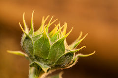 Sunflower bud Stock Image