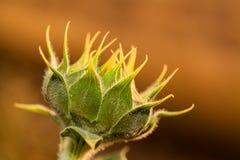 Sunflower bud Stock Image