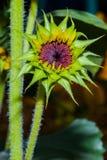 Sunflower bud. Close up of a green budding sunflower in a garden stock photos