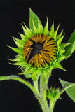 Sunflower bud close-up Royalty Free Stock Images