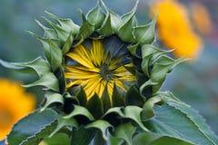 Sunflower Bud Closeup Stock Photos