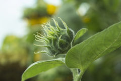 Sunflower bud. Stock Image