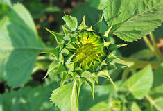 Sunflower Bud Stock Images