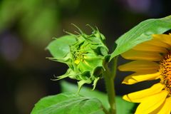 Sunflower bud Stock Photos