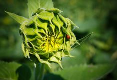 Sunflower Bud Growth Stage Helianthus Royalty Free Stock Photography