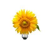 Sunflower bulb Royalty Free Stock Photos