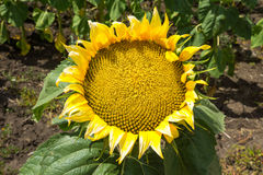 Sunflower in Bulgaria Stock Images
