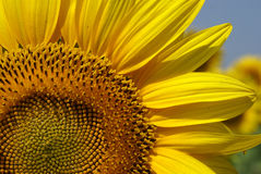 Sunflower. Bulgarian sunflower in Ruse regionn Royalty Free Stock Photo