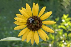 Sunflower with a Bumble Bee Stock Photography