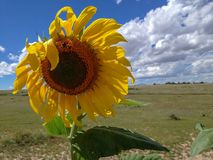 Sunflower with Bumble Bee and Blue Sky with Clouds. Sunlit Sunflower with bumble bee, blue sky, green field, clouds Royalty Free Stock Image