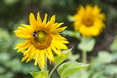 Sunflower with bumble bee. Close-up portrait of a sunflower with bumble bee and another sunflower blurred in distance behind Royalty Free Stock Image