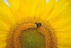 Sunflower and bumble bee. Closeup of bumble bee on face of sunflower Stock Photos