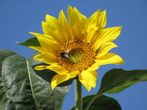 Sunflower and bumble-bee. Flower of sunflower on a background a blue serene and bumble-bee on him Stock Images