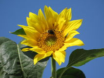 Sunflower and bumble-bee. Flower of sunflower on a background a blue serene and bumble-bee on him Stock Photography
