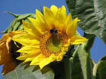 Sunflower and bumble-bee Stock Image
