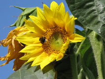 Sunflower and bumble-bee Royalty Free Stock Photography